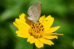 Gelber Schmetterling, der auf eine Blume einzieht Stockfotografie
