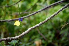 Gelber Schmetterling, der Nektar von der Blüte einer Heilpflanze bekannt als Wiesenknöterich erfasst lizenzfreie stockfotos
