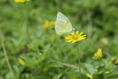 Gelber Schmetterling, der Nektar von den gelben Blumen saugt Stockfotografie