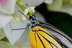 Gelber Schmetterling, der weg von einer Blume einzieht Lizenzfreies Stockfoto