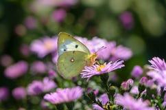Gelber Schmetterling sammelt Nektar auf einer Knospe von Astra Verghinas Lizenzfreies Stockfoto