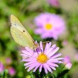 Gelber Schmetterling sammelt Nektar auf einer Knospe von Astra Verghinas Stockbild