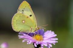 Gelber Schmetterling sammelt Nektar auf einer Knospe von Astra Verghinas Stockfotos
