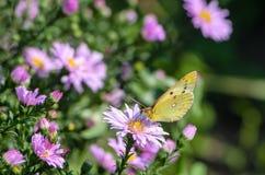Gelber Schmetterling sammelt Nektar auf einer Knospe von Astra Verghinas Lizenzfreies Stockbild