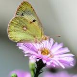 Gelber Schmetterling sammelt Nektar auf einer Knospe von Astra Verghinas Lizenzfreie Stockfotografie