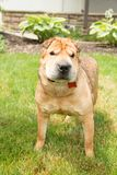 Gelber Shar Pei Dog im Gras Stockfotos