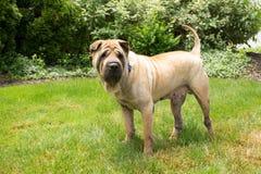 Gelber Shar Pei Dog im Gras lizenzfreie stockfotografie
