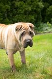 Gelber Shar Pei Dog im Gras lizenzfreies stockfoto