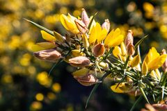 Gelber Stechginster in der Blume stockfoto