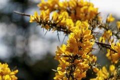 Gelber Stechginster mit scharfen Dornen lizenzfreies stockfoto
