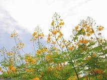 Gelber Stolz von Barbados lizenzfreie stockfotografie