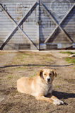 Gelber streunender Hund auf dem Grundschauen Stockfotografie