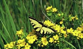 Gelber Swallowtail-Schmetterling auf gelben Blüten Lizenzfreies Stockfoto