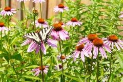 Gelber Swallowtail-Schmetterling auf purpurrotem Coneflowers Stockfotos