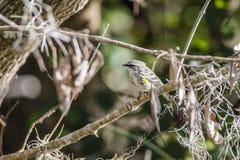 Gelber throated Trällerer stockbild
