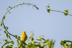Gelber Trällerer unter Bogen Stockfoto