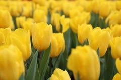 Gelber Tulipa Gesneriana im Garten Stockfotografie