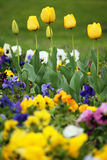 Gelber Tulpenblumengarten Lizenzfreie Stockfotos