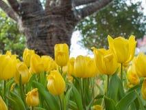 Gelber Tulpengarten auf Unschärfehintergrund Lizenzfreies Stockfoto
