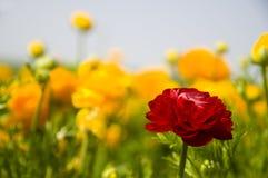Gelber u. roter Ranunculus Stockfotografie