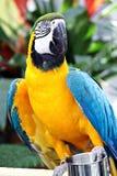 Gelber und blauer Papagei Stockbilder