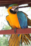 Gelber und blauer Vogelkeilschwanzsittich Lizenzfreie Stockfotos