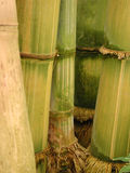 Gelber und grüner Bambus mit Wurzeln - Portrait Stockfotografie