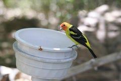Gelber und orange wilder Wüsten-Vogel, der auf Rand des Eimer-Essens sitzt Stockfotos