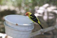 Gelber und orange wilder Wüsten-Vogel, der auf Rand des Eimer-Essens sitzt Stockbild