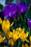 Gelber und purpurroter Krokus Lizenzfreie Stockbilder