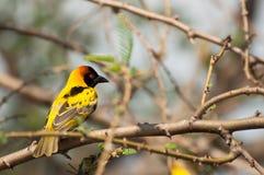 Gelber und schwarzer Weaver Bird Lizenzfreies Stockfoto