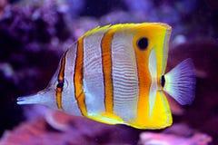 Gelber und weißer Seefisch Stockfotografie
