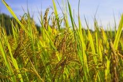 Gelber ungeschälter Reis stockfoto