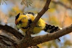 Gelber Vögel Haubenbartvogel, Trachyphonus-vaillantii, Nationalpark Chobe, Botswana Lizenzfreies Stockfoto