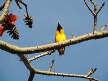 Gelber Vogel Lizenzfreies Stockbild