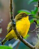 Gelber Vogel auf Baum Lizenzfreie Stockfotos
