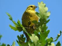 Gelber Vogel in den Bäumen Stockfoto