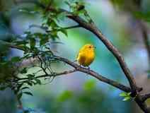 Gelber Vogel, der auf einer Niederlassung sitzt Stockbild