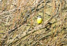 Gelber Vogel gehockt auf einem Pfosten stockfoto