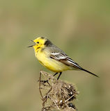 Gelber Wagtail Stockfoto