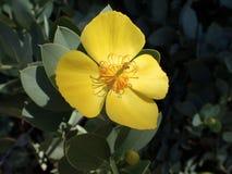 Gelber Waldmohnblumenabschluß oben Lizenzfreie Stockbilder
