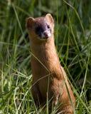 Gelber Weasel Stockbild