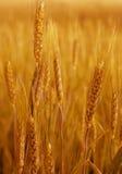 Gelber Weizen. Stockfotos