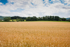 Gelber Weizenanbau auf einem Bauernhofgebiet Stockbild