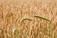 Gelber Weizenanbau auf einem Bauernhofgebiet Lizenzfreies Stockbild