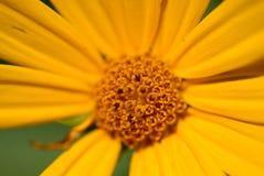 Gelber Wildflower stockfotos