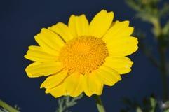Gelber Wildflower Lizenzfreies Stockfoto