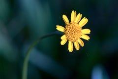 Gelber Wildflower, der die Sonne gegen?berstellt lizenzfreies stockbild