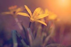 Gelber Wildflower in der Wiese Stockfotos