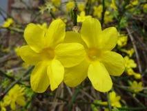 Gelber Winter Jasmine Flowers stockbild